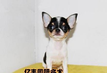 赛级吉娃娃幼犬多少钱 纯种吉娃娃哪里有