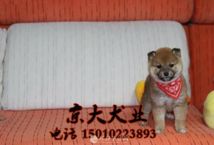 北京柴犬幼犬 赛级柴犬多少钱一只 柴犬犬舍