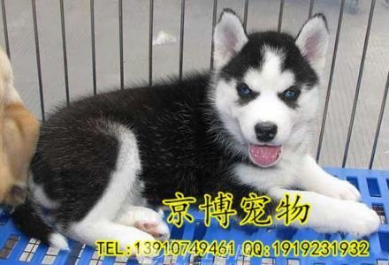 赛级哈士奇幼犬多少钱 纯种哈士奇哪里卖 京博犬舍