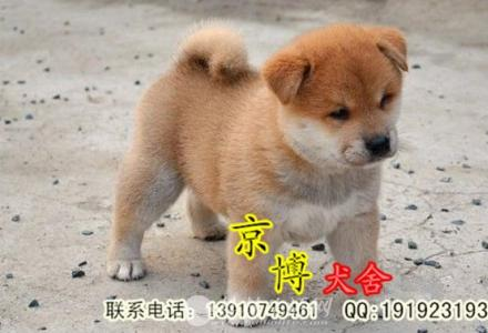 纯种柴犬幼犬多少钱 赛级柴犬价格 京博犬舍