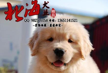 北京哪里卖纯种金毛犬