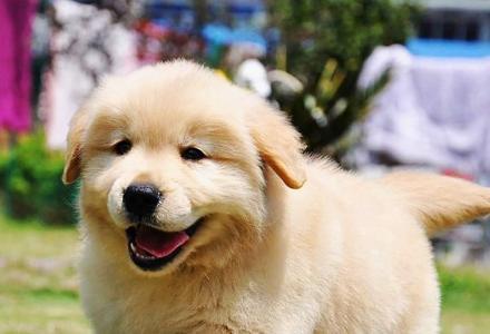 赛级金毛幼犬哪里有卖的 纯种金毛幼犬价格
