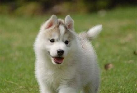 赛级哈士奇幼犬哪里出售 纯种哈士奇幼犬价格