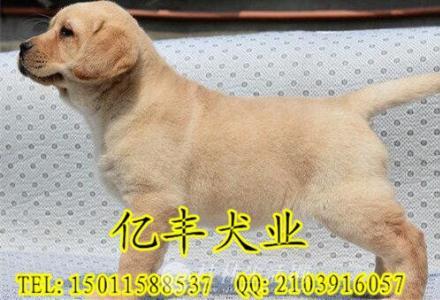 出售精品拉布拉多 赛级拉布拉多幼犬多少钱