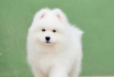 出售纯种萨摩耶幼犬 纯种萨摩耶价格