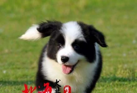 北京哪里卖纯种边牧价格多少钱