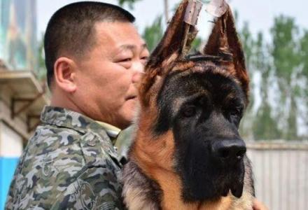北京德牧幼犬 锤系德牧幼犬价格 京大犬业
