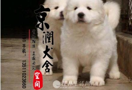 北京哪里出售纯种大白熊