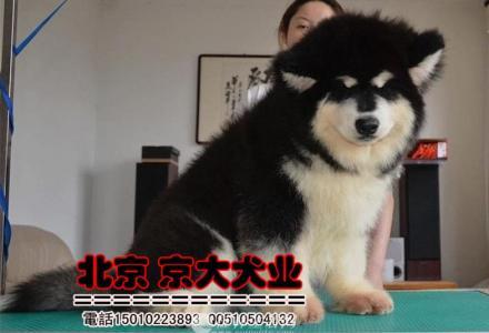 赛级阿拉斯加 熊版巨型阿拉斯加幼犬出售