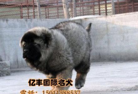 3个月高加索幼犬多少钱 纯种高加索哪里有 亿丰犬舍