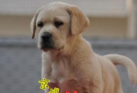赛级拉布拉多幼犬哪出售 纯种拉布拉多价格