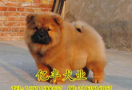 出售纯种松狮 赛级松狮哪里有 亿丰犬舍直销