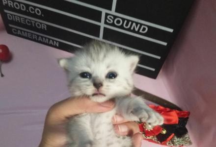 英短猫家养稀有白色银渐层