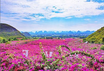 大量供应各种花色各种规格三角梅花苗