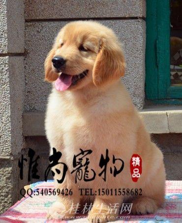 承德哪里卖纯种金毛犬