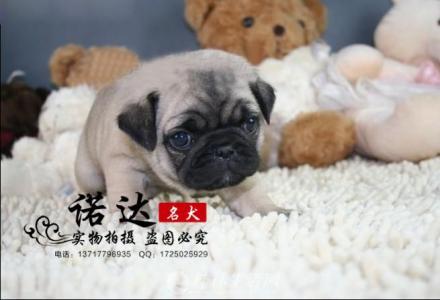 天津哪里卖纯种巴哥犬
