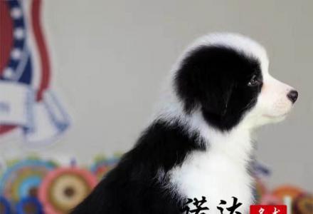 天津纯种边境牧羊犬多少钱一只
