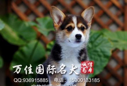 北京哪里卖三色柯基或者两色柯基