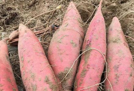 恭城县西岭镇德良村大量高山红薯出售