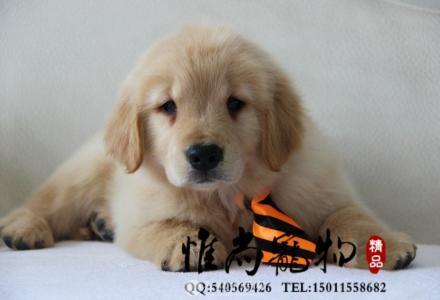 唐山哪里卖纯种金毛犬
