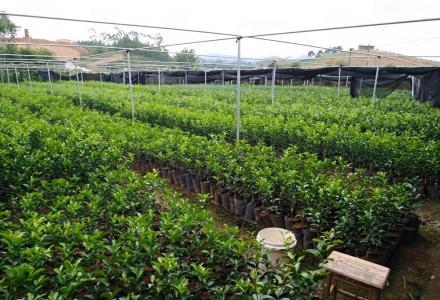 自育优质柑橘类、桃李类果秧