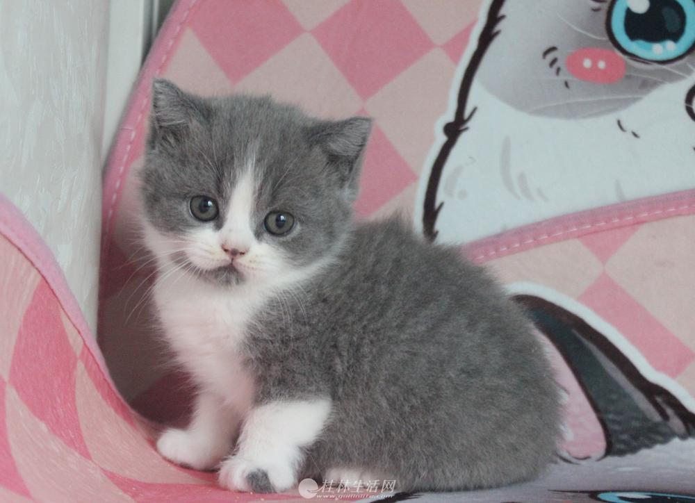 自家繁殖的猫猫出售咯