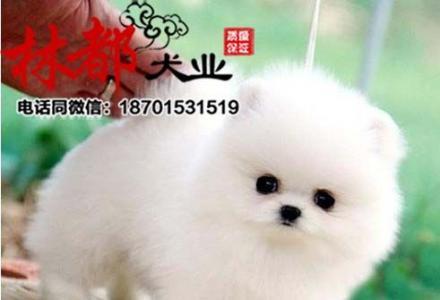 CKU认证犬舍出售纯种博美 博美幼犬 终身质保