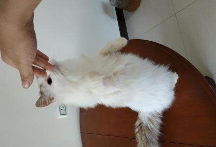 出售6个月布偶猫,自己养的,健康
