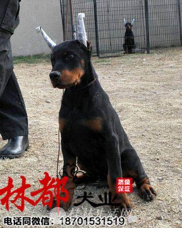 专业繁殖高品质-德系杜宾犬-保纯种 健康全国可托运