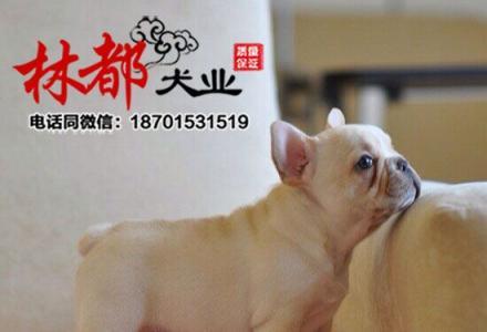 赛级法国斗牛犬幼犬,公母均有颜色齐全,签署合同质保