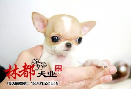 出售超小体墨西哥袖珍吉娃娃,成犬体重三斤