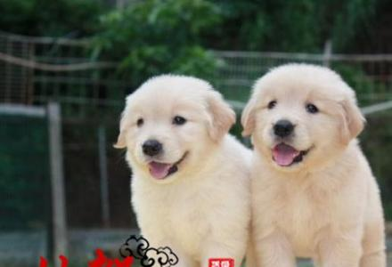 价格合理售纯种金毛幼犬 选择余地大 可签署协议