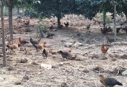 桂林正宗散养土鸡、土鸡蛋有卖了,批发零售都可以,地地道道的跑步鸡!!