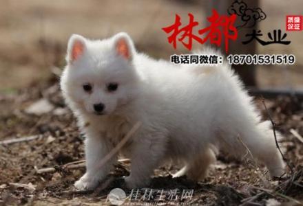 聪明的大气的小银狐犬长大啦,会自己吃狗粮,小型犬