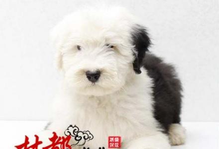 纯种可爱古牧幼犬 白头通背 四蹄踏雪