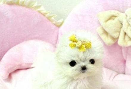 双血赛级马尔济斯犬幼犬出售公母均有 保障健康