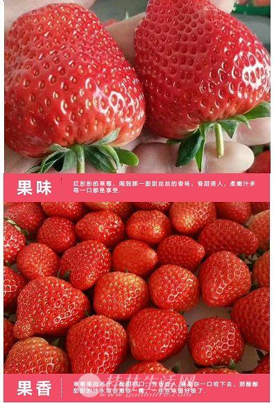 香恋果业 丹东九九草莓(牛奶草莓)3斤150元 产地直发 全国包邮