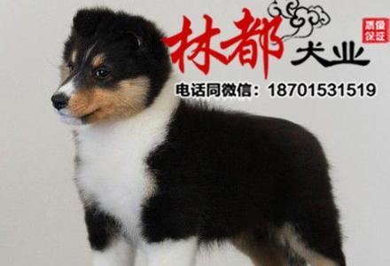 特价出售纯种喜乐蒂幼犬等各种名犬欢迎上门选购包健康