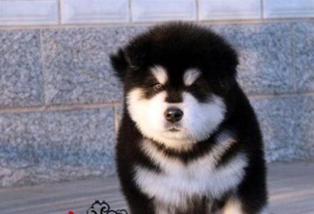 特价直销凶猛忠诚的阿拉斯加雪橇犬宝宝,品质保证