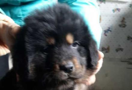 广西哪里有藏獒犬卖广西纯种藏獒犬价格