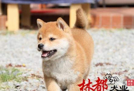 出售纯种柴犬宝宝。日本柴犬北京出售 上门选购