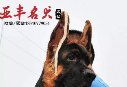 纯种犬繁殖基地出售 德牧幼犬 可办理血统证 芯片