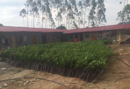 便宜转让4500棵重庆沃柑苗(营养杯苗)