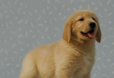 出售纯种金毛 纯种金毛幼犬多少钱