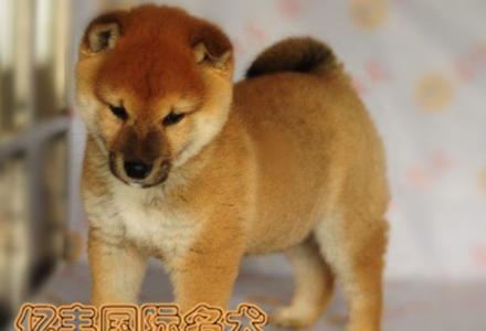 出售纯种柴犬 纯种柴犬价格 亿丰犬舍