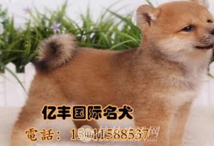 出售纯种柴犬 纯种柴犬价格 亿丰犬舍直销