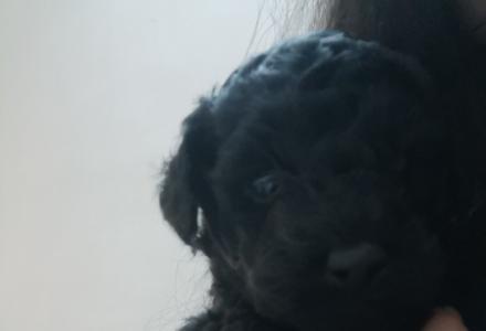 黑色纯种泰迪贵宾幼犬