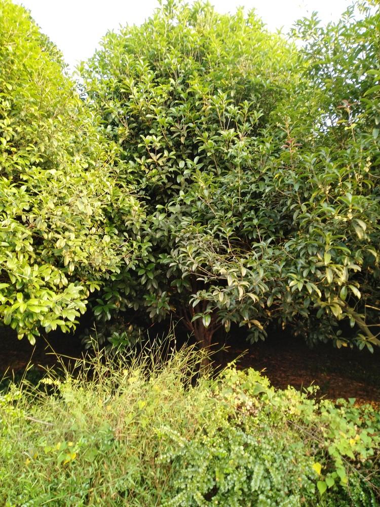 卖桂花树(大量,金桂、银桂)