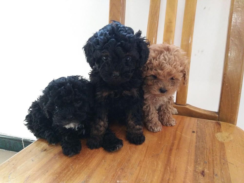 自己养的泰迪犬幼犬,黑色萌宠可爱