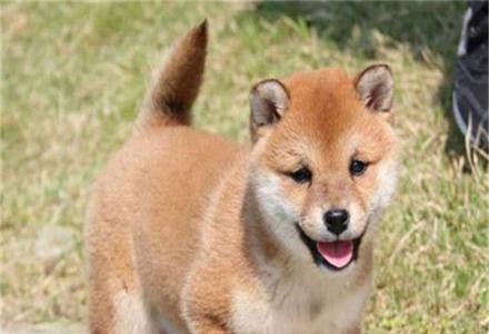 出售纯种柴犬 纯种柴犬哪里有